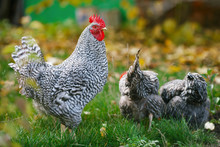 Rooster And Chickens In The Garden On A Background Of Green Grass And Autumn Leaves.