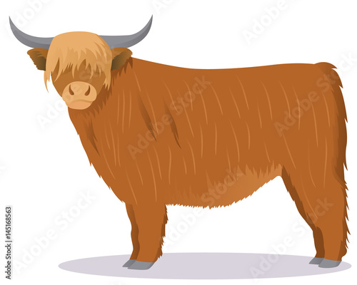 Fototapeta Highland cattle cow obraz