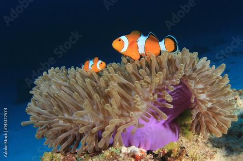 Plakat  Clownfish (Nemo fish). Clown Anemonefish