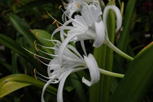 Beach Spider Lily Flowers, Sid...