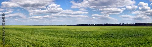 Green wheat on blue sky background Fototapet