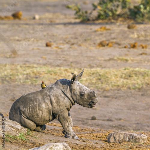 Fototapeta premium Nosorożec biały z południowej Afryki w Parku Narodowym Krugera
