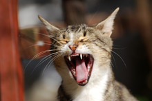 Portrait Of Yawning Cat . Kitten Opened His Mouth Like A Lion.