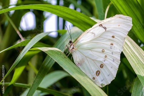 Photo Aporia crataegi