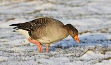 Greylag Goose, Anser Anser, Bi...