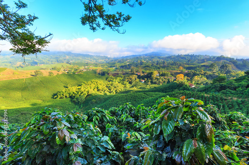 Fotomural View of a Coffee plantation near Manizales in the Coffee Triangle of Colombia with coffee plants in the foreground