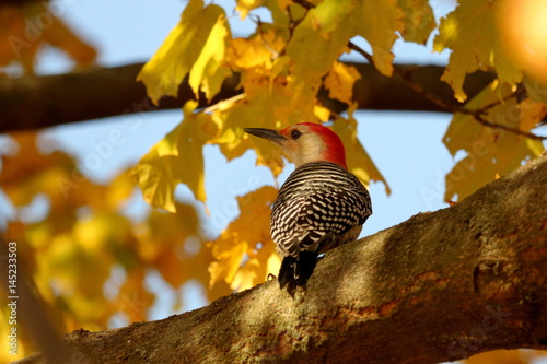 Photo  Male Red Bellied Woodpecker sitting in Maple Tree in Autumn
