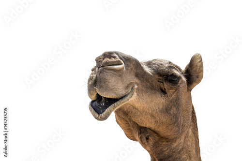 Poster Chameau funny looking smiling camel isolated on a white background
