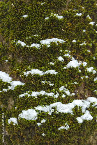 Melting snow crystals on mosses (Orthotrichum affine) Wallpaper Mural