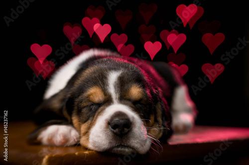 beagle-puppy-z-czerwonymi-sercami