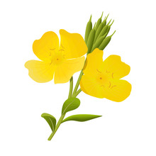 Yellow Evening Primrose. Sundrop, Suncup Or Oenothera Fruticose Flower And Leaf Isolated