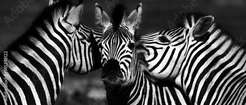 Aluminium Prints Zebra Close up of a playful group of Zebras