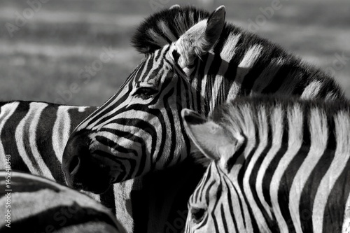 In de dag Zebra Close up of a playful group of Zebras