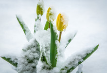 Natural Weather Anomaly, Snow Covered Tulip Flowers. Spring Yellow Tulips In The Snow. Flowers Looking Through The Snow.
