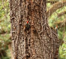 Two (2) Red Bellied Woodpecker...