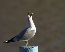 Common Gull Larus Canus On Top...