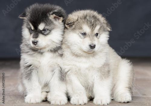 Photo 2 wonderful puppies of Alaskan Malamute