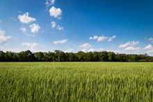 Clouds Over Wheat Field With T...