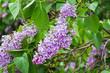 Blooming varietal selection lilac (Syrínga)