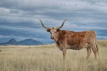 Longhorn In Sonoita, Arizona