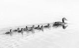 Monochromatyczny obraz podążają za mną kaczki, śliczne kaczątka (dzieci kaczki) podążające za matką w kolejce nad jeziorem, symboliczny symboliczny harmoniczny pokojowy portret rodziny zwierząt po zespole grupującym grupę - 145323358
