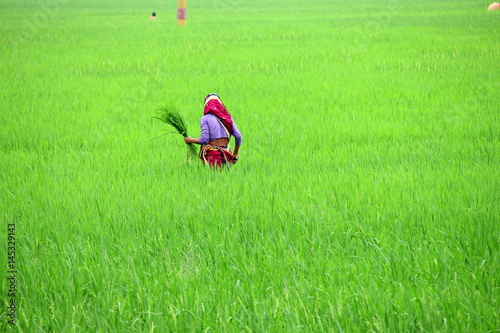 Photo Bangladesh women in rice field agricultural