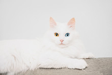 Cat With Different Colored Eyes.