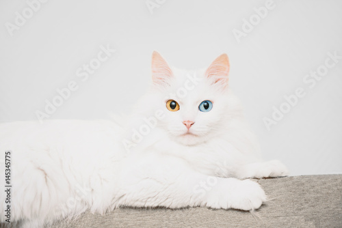 Cat with different colored eyes. Wallpaper Mural
