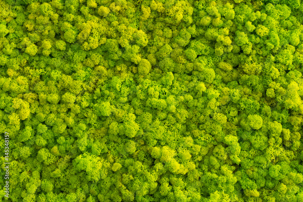 Fototapety, obrazy: Moss background made of reindeer lichen Cladonia rangiferina, mossy texture spring green.