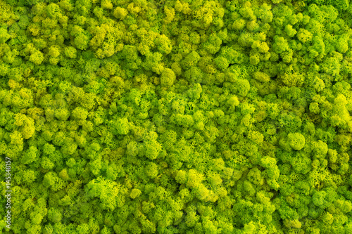 Fototapeta Moss background made of reindeer lichen Cladonia rangiferina, mossy texture spring green. obraz