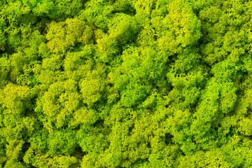 FototapetaMoss background made of reindeer lichen Cladonia rangiferina, mossy texture spring green.