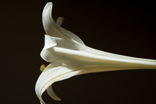 Single White Lilly Blossum Fro...