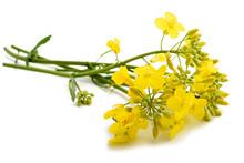 Colza (Brassica Napus )