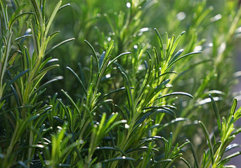 Fototapeta Green fresh rosemary spicy herb sprouts