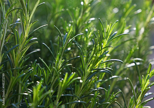 Fotografie, Obraz  Green fresh rosemary spicy herb sprouts