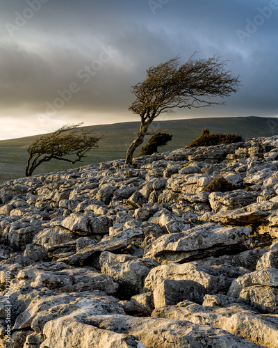 Valokuva  Windswept trees with moody clouds in the background taken in the Yorkshire Dales National Park