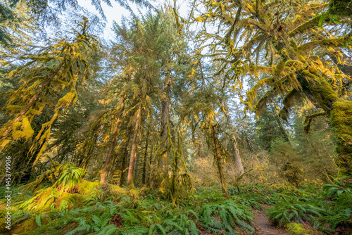 Foto op Aluminium Pistache Hoh rain forest in Olympic National Park with sun shining through the trees. Washington state, USA