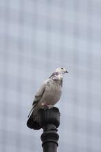 White Grey Dove On Lamp Post In City -   Windows Of A Skyscraper In The Background Vit Grå Duva På Lyktstolpe I Stan - Suddiga Fönster På Skyskrapa I Bakgrunden