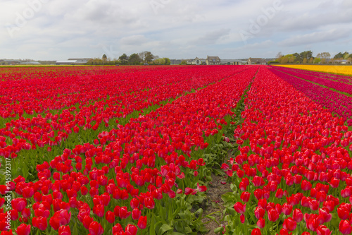 Keuken foto achterwand Rood traf. Beautiful flower field in spring time in The Netherlands.