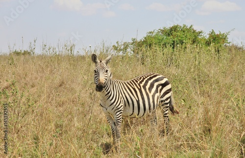 Wall Murals Zebra Zebra in Nairobi national park, Kenya, East Africa