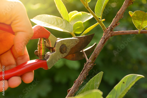 Poster Jardin gardener pruning trees with pruning shears on nature background.