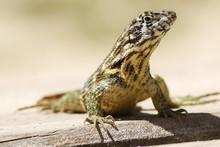Curly Tailed Lizard  Leiocepha...
