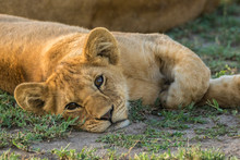 A Very Young Lion Resting In T...