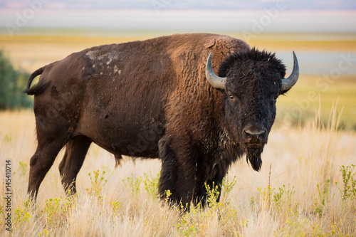 Photo Stands Bison American Bison Buffalo