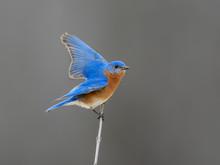 Male  Eastern Bluebird With Open Wings