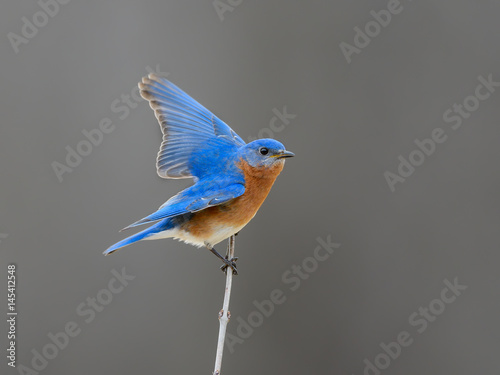 Valokuva  Male  Eastern Bluebird with Open Wings