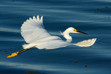 Snowy Egret Glides Gracefully Over The Water.
