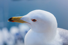 Seagull Head Close Up View