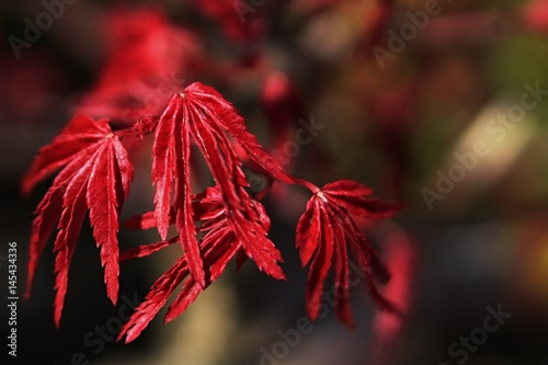Young red leaves of Japanse maple bonsai Acer Palmatum