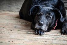 Old Black Dog Lying On Wooden Deck